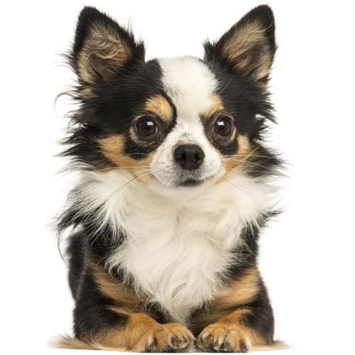 Yourdog 12kg. - Geschikt voor: Chihuahua Volwassen