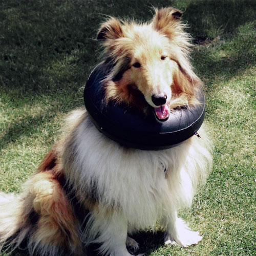 Opblaasbare hondenkraag Comfy Collar | Kraag makkelijk te verstellen